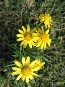YellowDaisyCluster