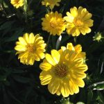 YellowDaisies